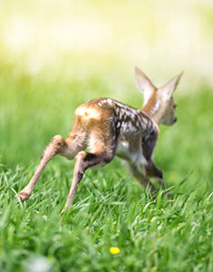 release fawn